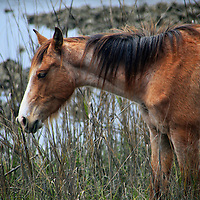 USA, Georgia, Cumberland Island. Feral horse in tidal marsh of  Cumberland Island.