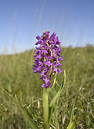 Early Marsh-orchid - Dactylorhiza incarnata<br /> subsp. pulchella