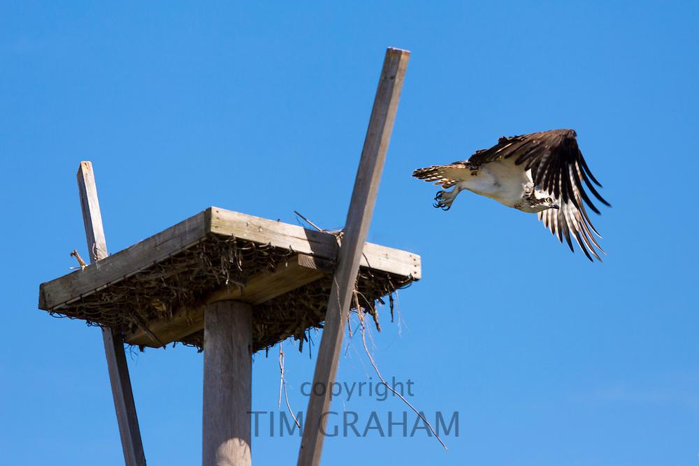 Osprey, Pandion haliaetus, taking off and flying from birds nest on Captiva Island in Florida, USA