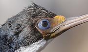 The blue rimmed eye of an Imperial Shag (Phalacrocorax atriceps) known locally as black shag or blue eyed cormorant. Saunders Island, Falkland Islands. 15Feb16
