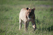Lioness walking in grassland after kill with bloodstained head