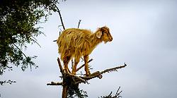 Goats climbing in Argon trees on the road to Essaouira, Morocco, North Africa<br /> <br /> (c) Andrew Wilson | Edinburgh Elite media