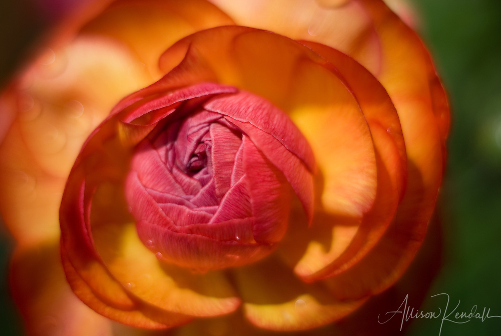 Vivid sunset colors seem painted on the petals of a ranunculus blooming in early spring