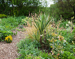 Successional combination of oriental poppy, yucca, eucomis and snowdrops