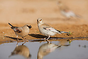 Desert Finch (Carduelis obsoleta) near a puddle of water in the Negev desert, israel