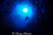 a diver ascends into a swirling vortex of chevroned, blackfin, or sawtooth barracuda, Sphyraena putnamae or Sphyraena qenie, Sipadan, Borneo, Malaysia ( Celebes Sea )