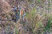 """4 months old cub of the female bengal tiger known as """"Chhoti Mada"""" in Kanha National Park (Mukki range) in February 2019. This was the only survivor of a litter of three, the other two beeing killed by tigers."""