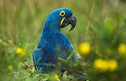 Hyacinth Macaw<br /> Anodorhynchus hyacinthinus<br /> Hyacinth Valley - Biobrazil Reserve,<br /> Cerrado Habitat<br /> Piaui State, BRAZIL. South America<br /> (100% WILD)