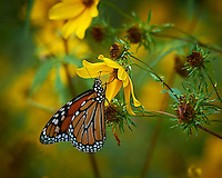 Monarch Butterfly at the Sourland Mountain Preserve, Summer Nature in New Jersey. Image taken with a Nikon D4 camera and 80-400 mm VRII lens (ISO 800, 400 mm, f/8, 1/400 sec). Raw image processed with Capture One Pro, Focus Magic, and Photoshop CC 2014. <br /> <br /> I finally tracked down a Monarch Butterfly today. Since I returned from the Semester at Sea voyage, it has been hot in New Jersey and the butterflies have been sparse. It was cloudy and windy today so wasn't that hopeful. Lots of the yellow wild flowers, a very few thistle blooms - but did see  several milkweed pods. Finally, I did see one Monarch Butterfly fly by. I had to pass through a lot of raspberry bushes to get close enough to get some good images.
