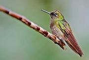 Buff-tailed Coronet (Boissonneaua flavescens) from Mindo, Ecuador