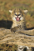 Serval<br /> Felis serval<br /> 2.5 week old orphan kitten playing on log and calling for foster mother<br /> Tanzania
