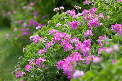 Pelargoniums 'Attar of Roses' and 'Pink Capitatum' (Pink capricorn) lining the path on the vegetable bank. Geraniums