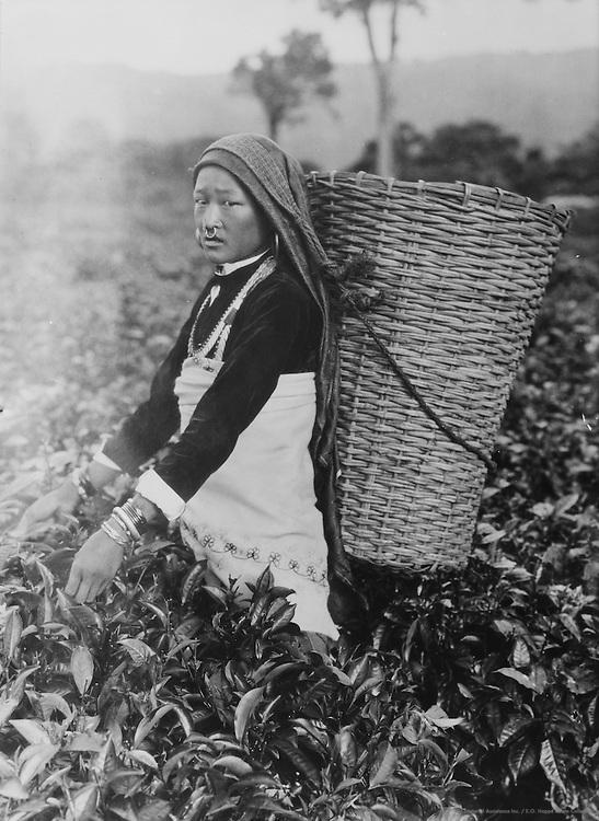 A Woman Plucking Tea Leaves, Dooars, India, 1929