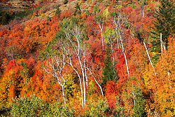 Green aspens doing their best to stand out in a sea of red mountain maple on a Swan Valley Idaho hillside.