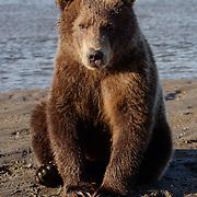 Brown Bear sitting, close up. Alaska.