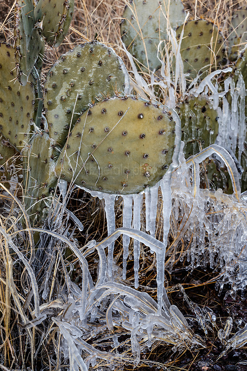 Frozen cactus, Ladder Ranch, west of Truth or Consequences, New Mexico, USA.