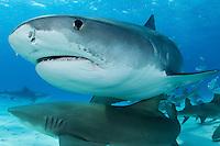 Tiger Sharks and Lemon Sharks<br /> <br /> Shot in Bahamas