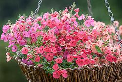 Diascia 'Diamonte Mixture' in a hanging basket