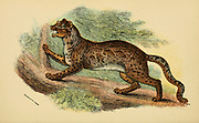 marbled cat (Pardofelis marmorata Here As Felis marmorata) is a small wild cat native from the eastern Himalayas to Southeast Asia, where it inhabits forests up to 2,500 m (8,200 ft) altitude. From the book ' A handbook to the carnivora : part 1 : cats, civets, and mongooses ' by Richard Lydekker, 1849-1915 Published in 1896 in London by E. Lloyd