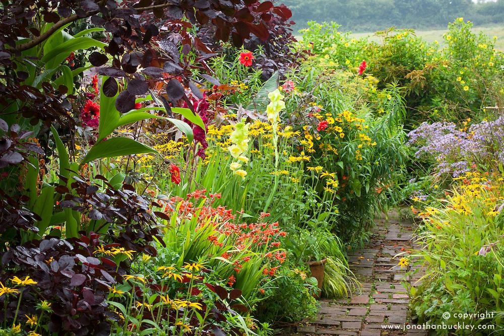 Hot borders in the brick garden at Glebe Cottage with crocosmia, gladiolus, rudbeckia, dahlias and Cotinus coggygria Purpureus Group. Brick path