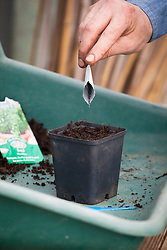 Sowing basil into pots - Ocimum basilicum