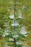 Spider webs and spruce tree<br />Ear Falls<br />Ontario<br />Canada