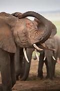 Nature photograph of a group of African elephant (Loxodonta africana) in Tarangire National Park, Tanzania