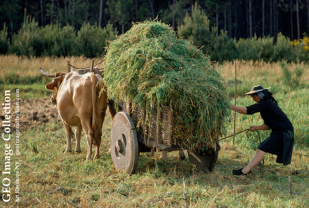 Portuguese farm woman loading an ox cart with fodder.