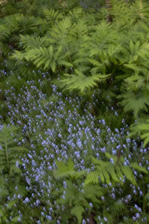 Bluebells and ferns rendered with intentional camera movement.