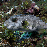 White-spotted pufferfish being cleaned by a bluestreak cleaner wrasse. Photograph taken at Ambitle Island, one of the two islands in the Feni Island group, New Ireland, Papua New Guinea.