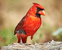 Northern Cardinal (Cardinalis cardinalis). Campos Viejos, Texas. Image taken with a Nikon D4 camera and 600 mm f/4 VR lens