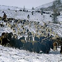 MONGOLIA, Horidol Saridog Mts. A migrating family herds its animals down Utreg Pass toward Lake Hovsgol.