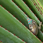 Mauritius orante day gecko (Phelsuma ornata) on Ile aux Aigrettes, Mauritius