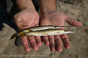 Comparison of two wild caught juvenile gar from the Trinity River in Texas. On the top is a Longnose Gar, Lepisosteus osseus, and on the bottom, the Alligator Gar, Atractosteus spatula. Both fish were returned to the river alive in good shape.