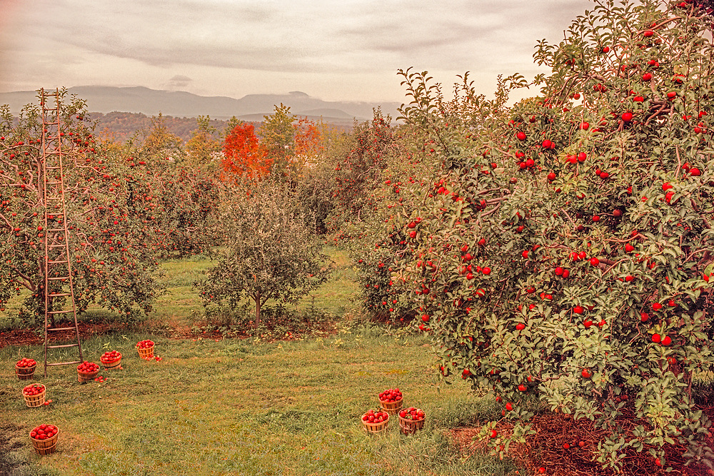 Apple Orchard in the Hudsin River Valley, near town of Hudson, New York, Catskill Mountains in the background