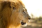 African Wildlife Big 5
