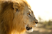A male lion in the early morning at Phinda Game Reserve.