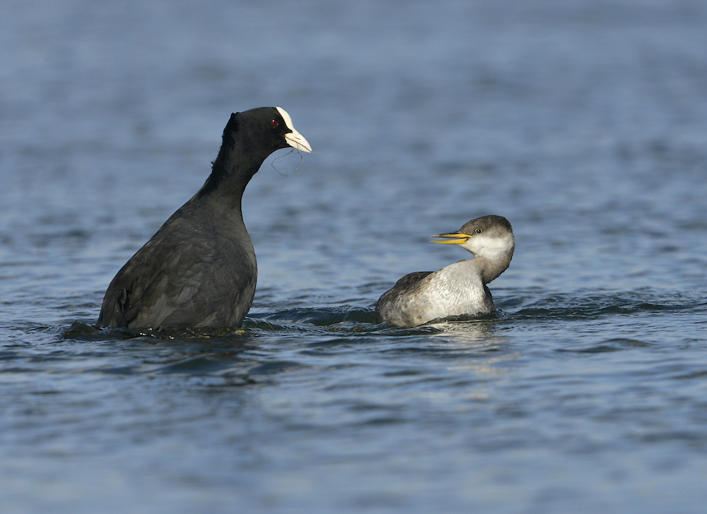 Red-necked Grebe - Podiceps grisegena and Coot - Fulica atra