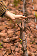 Elisa Trabal de Bouza showing how the vine is trained and cut and the distance between the branches. Bodega Bouza Winery, Canelones, Montevideo, Uruguay, South America