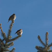 House sparrows in spruce tree near Bozeman, Montana.