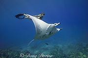 free-diver Sandy Hammel swims with Vallaray, a small female reef manta ray, Manta alfredi, at Veto's Reef, off Kekaha Kai State Park, north Kona, Hawaii Island ( the Big Island ), Hawaiian Islands, United States ( Central Pacific Ocean ) MR 489
