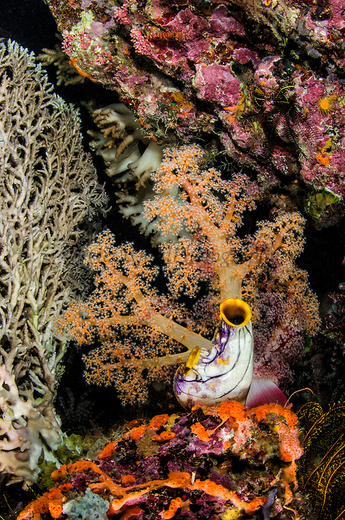 Solitary tunicate (Sea squirt) (Polycarpa aurata) & Coral reef diversity<br /> Raja Ampat<br /> West Papua<br /> Indonesia