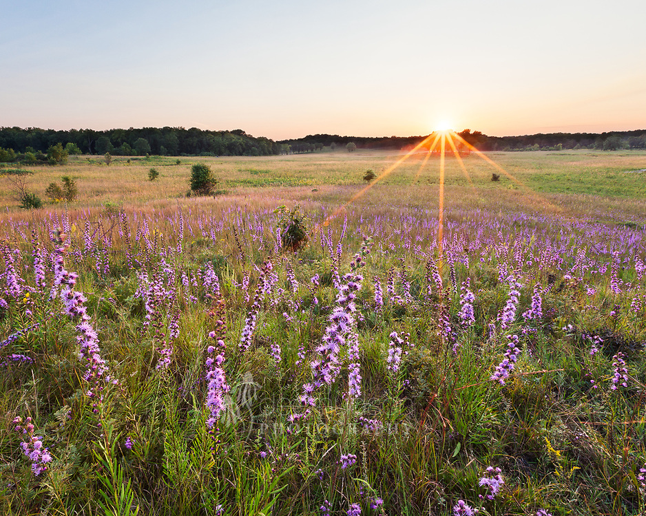 The splendor of the rough blazing star on a quiet evening in the prairie.