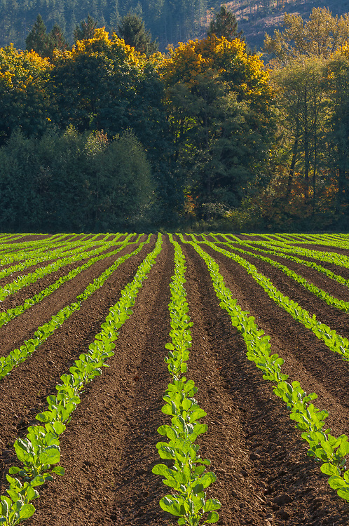 Agricultural field, afternoon light, October, Skagit River Valley, Skagit County, Washinton, USA