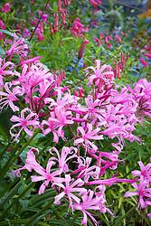 Nerine bowdenii AGM. Bowden Cornish lily