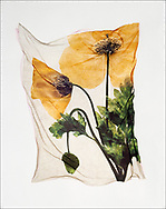 FLOWERPRESS - Wild Welsh Poppy - polaroid lift photo art print by Paul E Williams. These rare and striking polaroid lift was taken iby Paul Williams in 1992 and was awarded a Polaroid European Final Art Award. .<br /> <br /> Visit our FINE ART PHOTO  PRINT COLLECTIONS for more wall art photos to browse https://funkystock.photoshelter.com/gallery-collection/Fine-Art-Photo-Prints-by-Photographer-Paul-Williams/C0000UM829OLMVv8 .