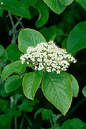 WAYFARING-TREE Viburnum lantana (Caprifoliaceae) Height to 6m. Deciduous shrub with downy, rounded twigs buds without scales. Grows in hedgerows and scrub, usually on calcareous soils. FLOWERS are 5-7mm across and creamy white; borne in flat-topped clusters, 6-10cm across (May-Jun). FRUITS are berries that ripen from red to black, but not simultaneously. LEAVES are ovate, finely toothed, wrinkled, dark green above and downy white below. STATUS-Locally common in SE England only.