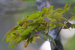 10 Jul 2011:  Japanese red maple tree leaves