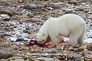 01874-12918 Polar bear (Ursus maritimus) eating Ringed Seal (Phoca hispida)  in winter, Churchill Wildlife Management Area, Churchill, MB Canada