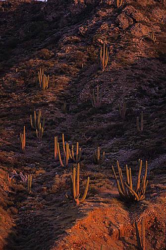 Mexico, Cardon cactus. Baja, Mexico.